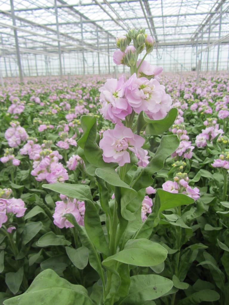 Figaro Light roze