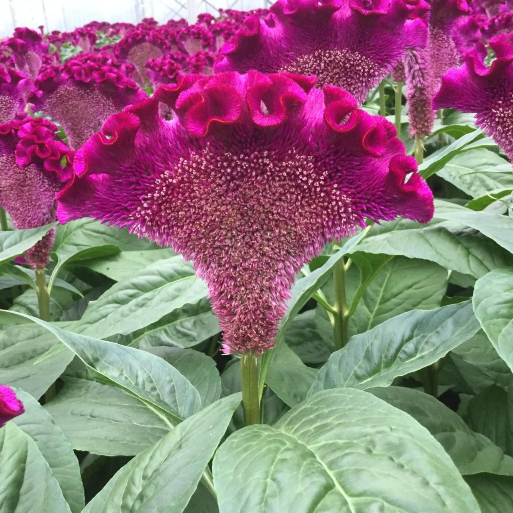 Cristi Purple