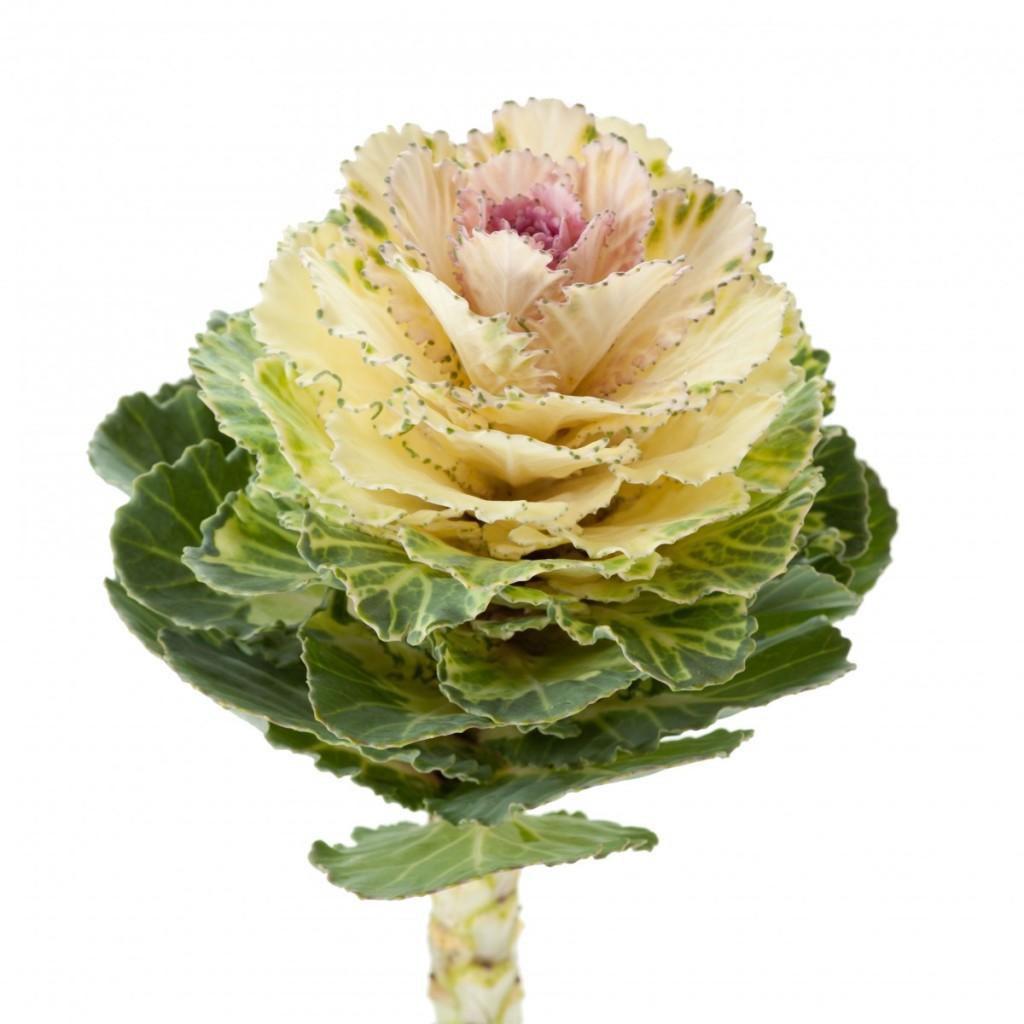 brassica-akilina