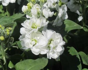 Centum White
